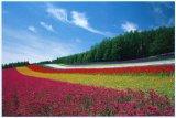 ■1000ピースジグソーパズル:富良野の花畑(北海道)《廃番商品》