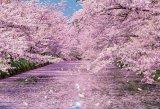 ■300ピースジグソーパズル:弘前公園の桜