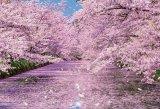 ■1000ピースジグソーパズル:弘前公園の桜
