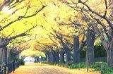 ■1000ピースジグソーパズル:黄金色の散歩道-東京《廃番商品》