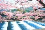 ■1000ピースジグソーパズル:宇治川の流れと桜-京都《廃番商品》