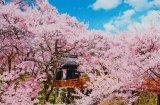 ■1000ピースジグソーパズル:桜咲く高遠城址公園-長野《廃番商品》